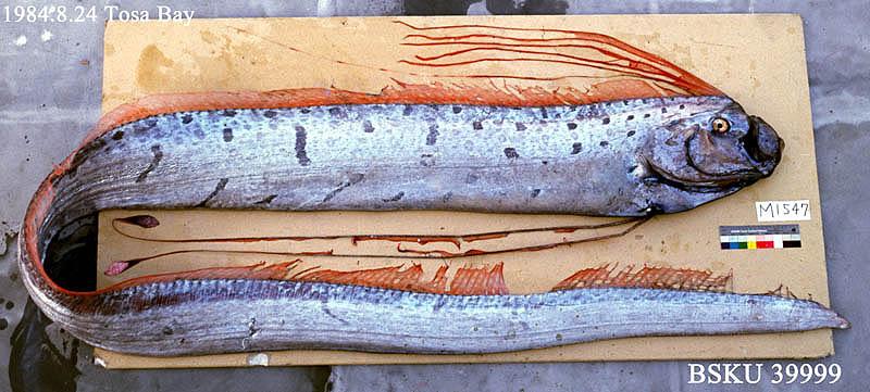 http://www.kochi-u.ac.jp/w3museum/Fish_Labo/FishPhotos01/Reg_BSKU39999L.jpg